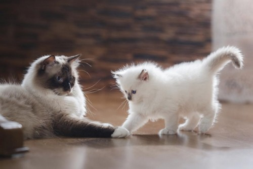 1200-515676914-great-companions-with-ragdoll-cat.jpg